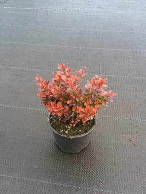 "Berberis thunb. ""Bagatelle"""