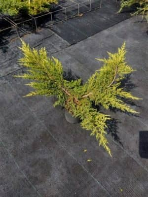 Juniperus pf. 'Mordigan Gold'