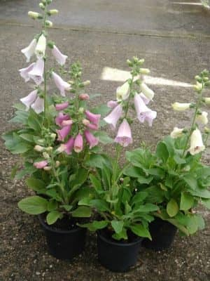 Digitalis purpurea F1 Virtuoso Cream/Lavender/Rose Compact/White