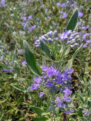 Caryopteris 'Heavently Blue'