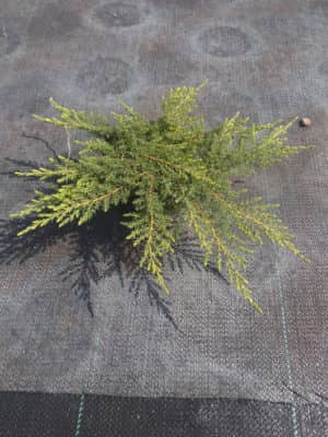 "Juniperus comm. ""Green Carpet"""