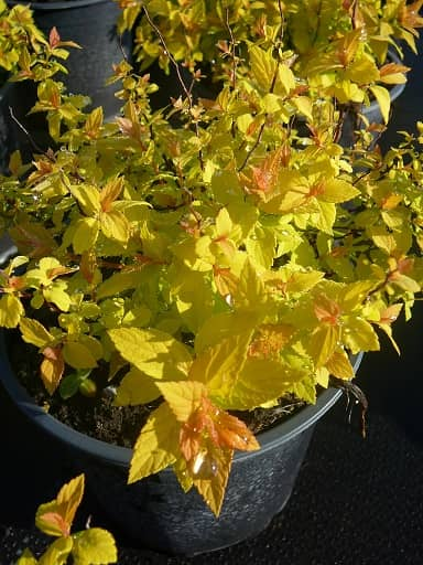 Spiraea jap. 'Golden Princess'