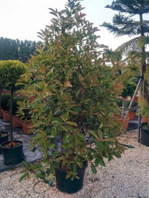 Photinia fr. Red Robin